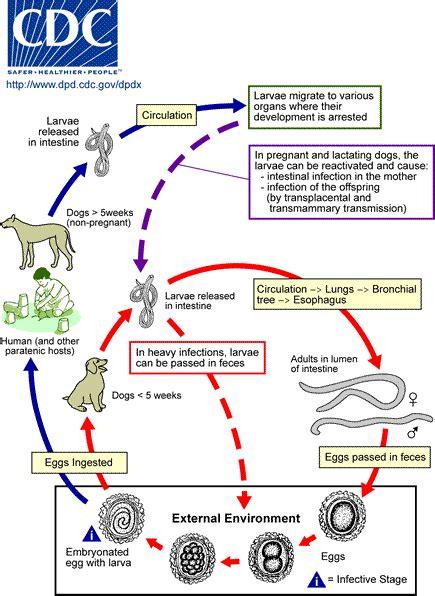 cadena epidemiologica trichuris trichiura toksokaroza wikipedia wolna encyklopedia
