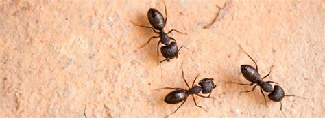 amazing varieties  ants  infestation eradication