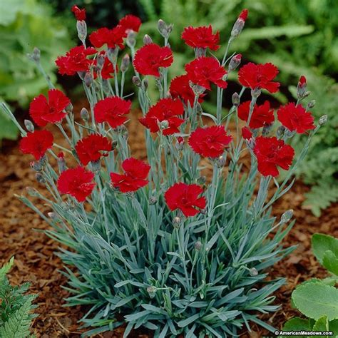 fall flowering perennials fall perennials greenway fire star dianthus blooms from late spring to fall the