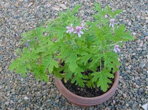 plantfiles pictures scented geranium van leenii pelargonium citrosum by ladyannne