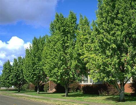 ginkgo maidenhair tree   plants garden supplies