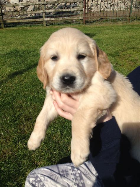 golden retrievers for sale uk golden retriever for sale