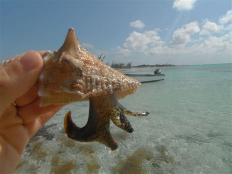 queen couch queen conch research update cei blog