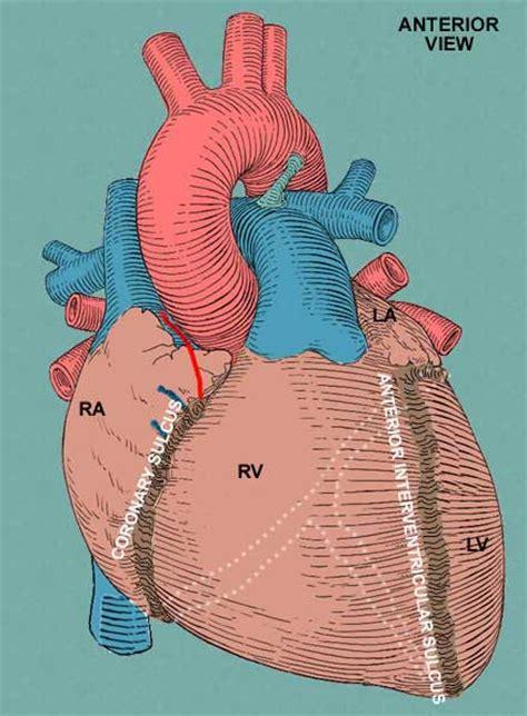 sillon interventriculaire anterior interventricular sulcus location function and