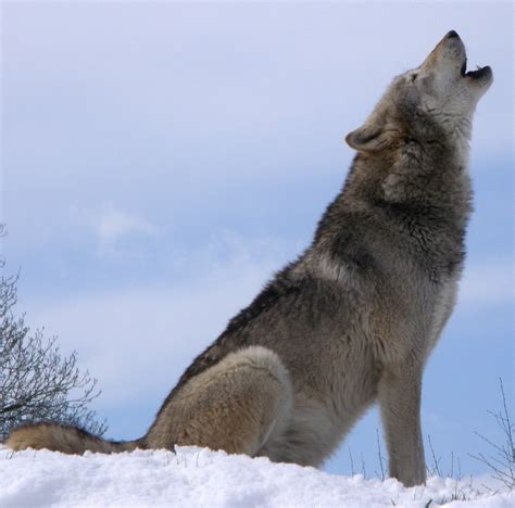 wolf s who s afraid of the big bad beautiful wolf 56 pics