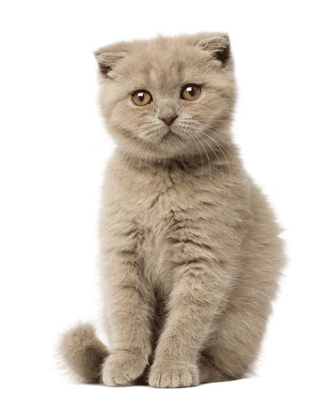 cats breeders scottish fold breeders australia scottish fold info