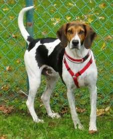 American Foxhound Dog Breed Information and Pictures
