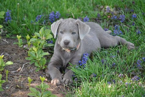 labrador retriever puppies ohio silver mist labradors labrador retriever breeder jackson ohio