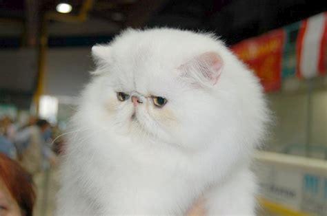 allevamento gatti persiani lombardia allevamenti gatti persiano per fife pensiero