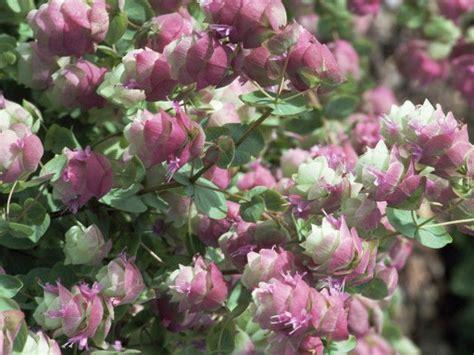 flowering oregano this low growing trailing subshrub