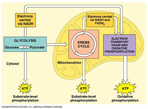 aerobic cellular respiration diagram yksd biology chapter 7 lesson 3 quot how plants give oxygen quot