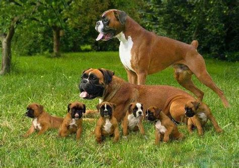 medium sized family dogs quot beautiful boxer family quot this breed of medium size haired dogs were developed