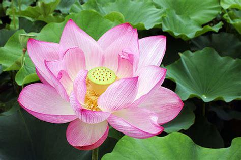 Biji Bunga Teratai Putih obat sakit perut diare mencret mulas disentri herbal