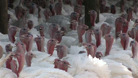 Turkish Clip Doff domestic turkey farm in central utah large flock of white turkeys in an outside shed zoom out