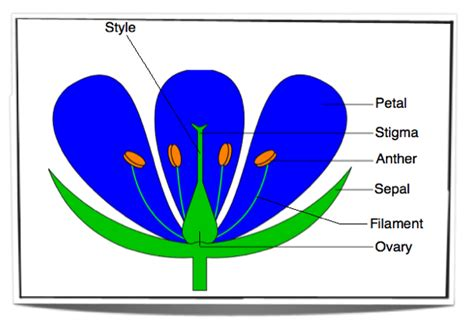 diagram of a labelled flower ib biology notes 9 3 reproduction in angiospermophytes