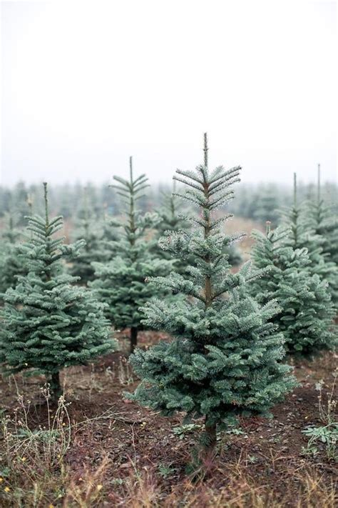 christmas tree farm wedding christmas wedding 100