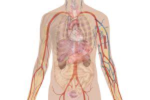 die inneren organe des menschen die inneren organe des menschen