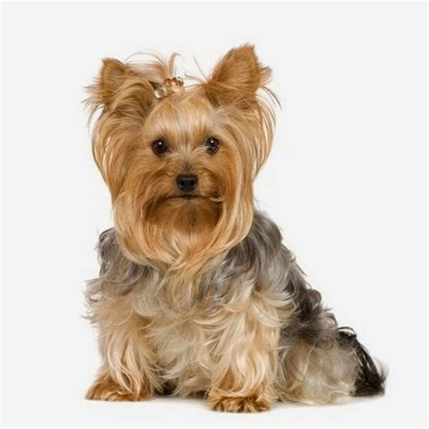 yorkie hairstyles photo gallery yorkie summer haircut photos apexwallpapers com