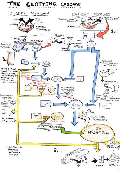 coagulation cascade diagram wiring diagrams wiring diagrams