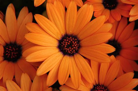 orange flowers flowers magazine