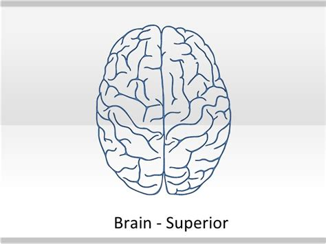brain template human anatomy toolkit human anatomy powerpoint template