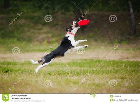 catching frisbee frisbee border collie catching stock images image 26584924