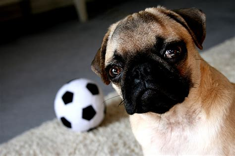 pug soccer photo by joe laut breakdown