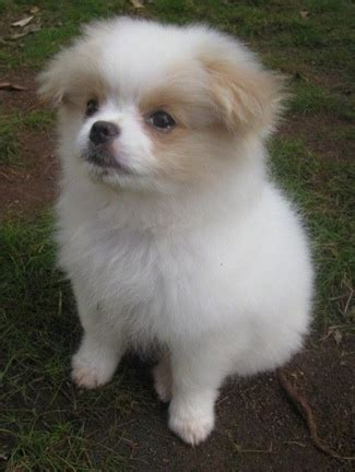 japanese pomeranian chineranian breed information and pictures