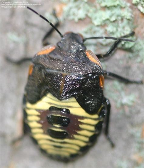 yellow black beetle garden pest insect and spider identification closed black and yellow