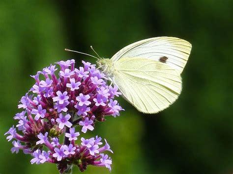 Best Fragrant Plants - life between the flowers verbena bonariensis argentinian vervain summer flowering purple