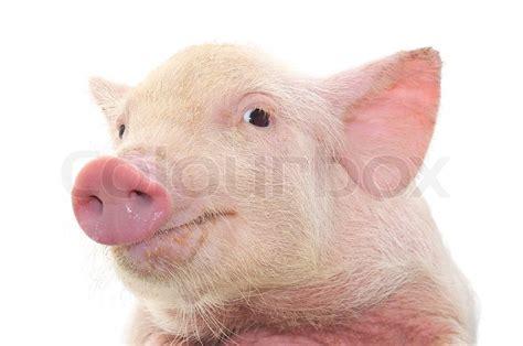 Farm Home Plans by Portrait Of A Pig Stock Photo Colourbox