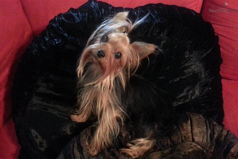 yorkies for sale san antonio tx dogs and puppies for sale and adoption oodle marketplace