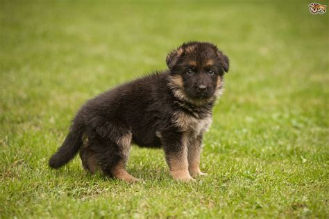 german for german shepherd breed information buying advice photos and facts pets4homes