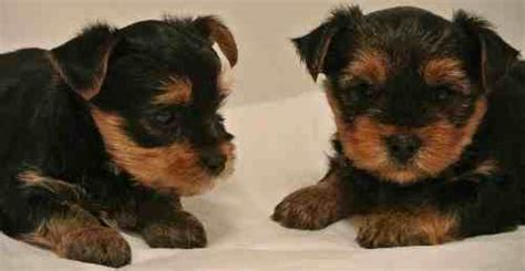 yorkie puppy ears not standing up terrier why is this breed so popular