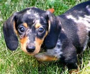 dachshund puppies ohio best 25 dachshund puppies for sale ideas on daschund puppies for sale