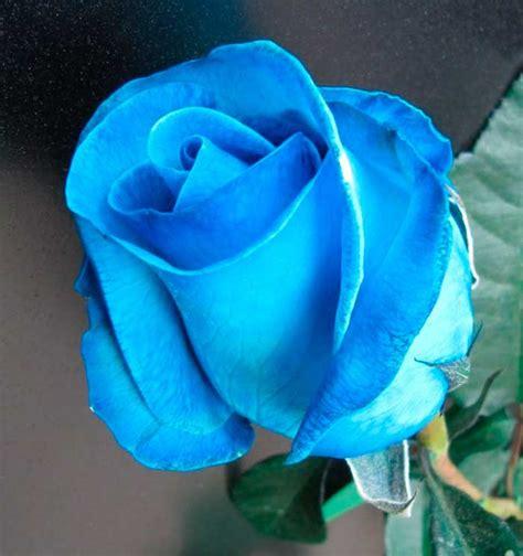 imagenes de rosas moradas y azules rosas color azul imagenes de rosas