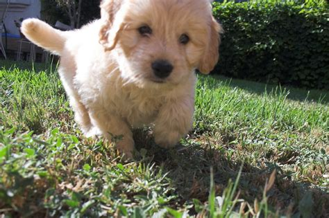 goldendoodle puppies for sale in louisiana goldendoodlepuppy on topsy one