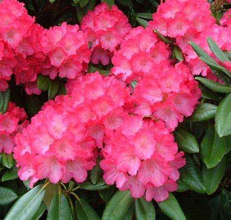 buy rhododendrons quality garden plants from jacksons nurseries kvetiny pinterest shrub