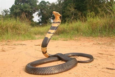forest cobra facts  pictures reptile fact