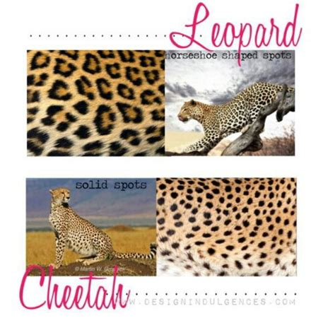 Difference Between Leopard And Cheetah And Jaguar There Is A Difference Between Cheetah Leopard Spots