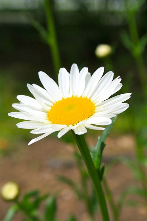 grow shasta daisy  healthy life