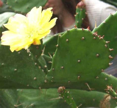 fiori di ficodindia alberi da frutto ficodindia o fico d india