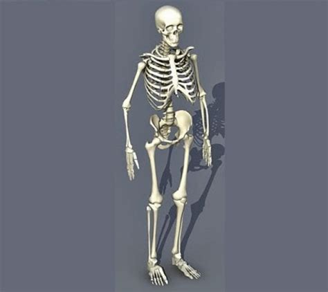 Skeleton L class 3ld 2015 187 archive 187 human skeleton
