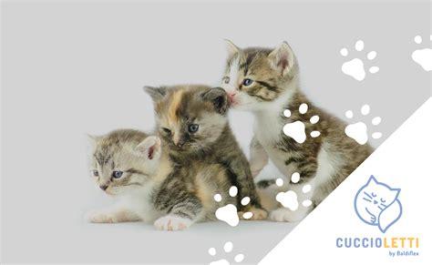 alimentazione cucciolo di il cibo per i cuccioli di gatto cosa quando e quanto