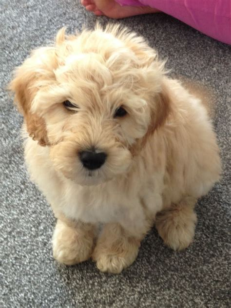 miniature labradoodle puppies adorable miniature medium f3b labradoodle puppies blackpool lancashire pets4homes