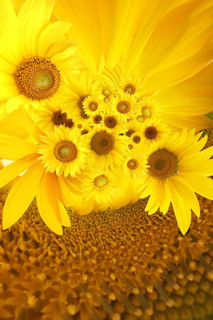 sunflower picture background material