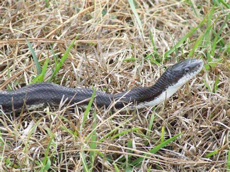 black snake in backyard southern pines nc snake back yard beth morgan multiple