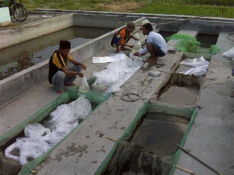 Bibit Ikan Nila Di Lung jual jual benih nila murah harga bibit ikan nila di
