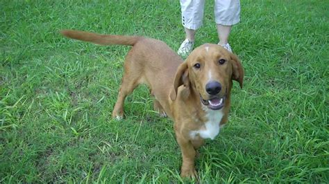 golden retriever hound mix basset hound golden retriever mix www imgkid the image kid has it