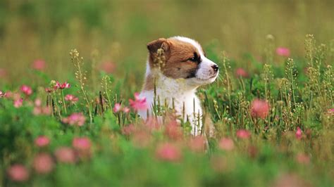 dog wallpapers widescreen desktop wallpaper box cute puppy small dog full hd wallpapers images new